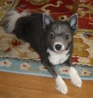 A shaved grey with white Pomeranian dog is laying across a rug with its front paws on a hardwood floor looking up.