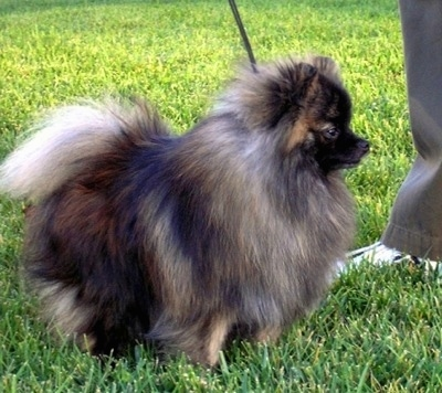 Right Profile - A small fluffy brindle wolf sable Pomeranian is standing in grass and it is looking to the right. There is a person standing in front of it.