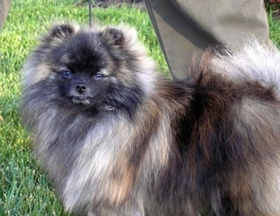 Close up side view - A brindle wolf sable Pomeranian is standing across grass and it is looking forward. There is a person standing behind it holding its leash.