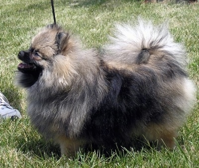Left Profile - A wolf sable Pomeranian is standing in grass and it is looking up to the left and its mouth is open. The dog is fuzzy and its tail is curled up over its back.