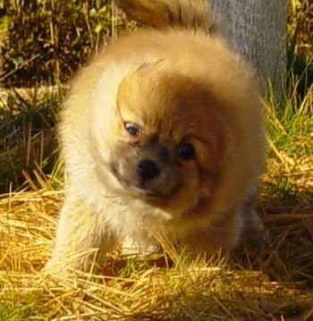 Front view action shot - An apricot Pomimo puppy is standing in grass and it is shaking itself dry.