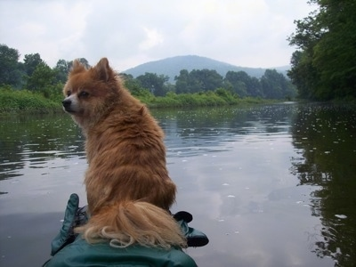 The back of an apricot Pomimo that is sitting at the end of a kayak and it is looking to the left. The Kayak is moving down a calm body of water.