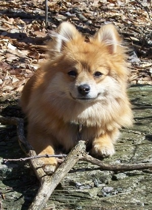 Marley the the Pomimo in all his glories, going for a hike in the mountains of Pennsylvania.