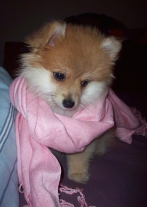Close up front view - A tan with white Pomimo puppy is looking down and to the right. It is wearing a pink scarf. It has small ears.