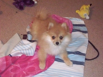 Foxxy the 3/4 Pomeranian and 1/4 Miniature American Eskimo hybrid (Pomimo).