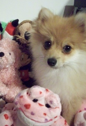 Close up front view - A tan with white Pomimo puppy is laying in a pile of pink plush dolls.
