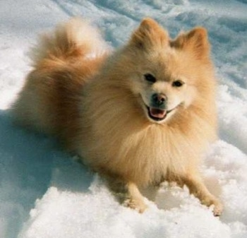 pomeranian mixes pomimo dog breed information and pictures 5648