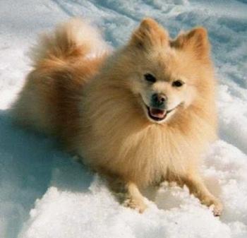 American Eskimo Pomeranian Mix Puppy