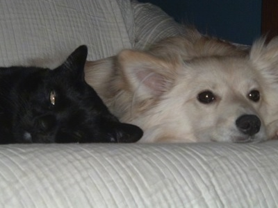Close up front view - A tan Pomimo is laying down on a white couch next to a black cat that has one eye open.
