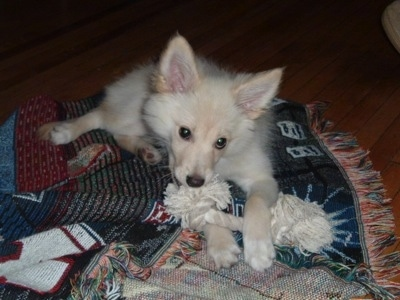 A tan Pomimo puppy is laying across a throw blanket that is on a hardwood floor with a white rope toy in between its front paws. It has perk ears and a foxy looking face.