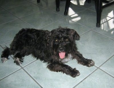 A wavy-coated, black with white Poolky dog is laying on a green tiled floor looking forward in front of black wooden table and chairs. Its mouth is open and tongue is out.