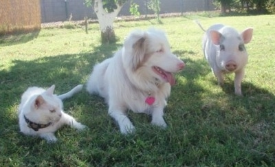 A pink pot bellied pig is standing outside in a yard next to an Australian Shepherd dog and a cat. The Aussie and the Cat are both laying in grass and looking to the right. The Aussie's mouth is open and tongue is out.