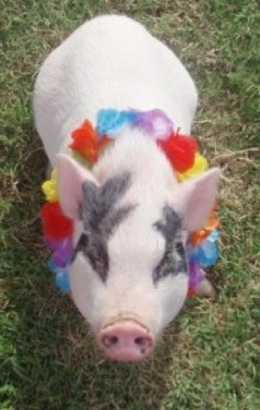 A pink and gray pot bellied pig is standing in grass and it is looking up. It is wearing a lai around its neck.