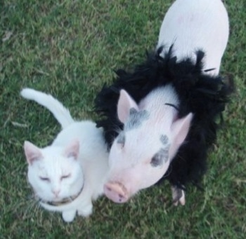 A pink and gray pot bellied pig is sitting in grass and it is wearing feathers around its neck. There is a cat sitting next to it and it is looking up.