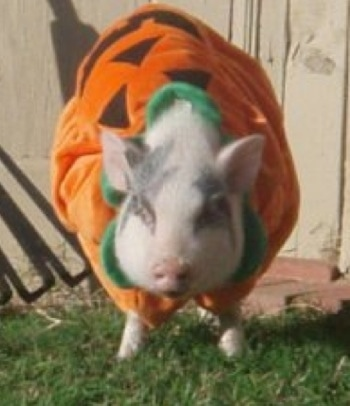 A pink with gray pot bellied pig dressed as a pumpkin standing outside in a yard.