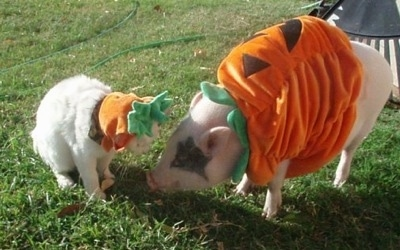 A pink pot bellied pig is standing in a yard with her cat friend. They are both dressed as pumpkins.