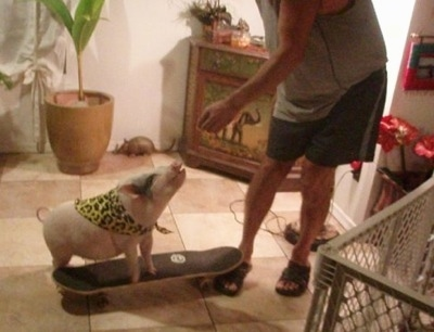 A pink pot bellied pig is standing on a skateboard and it is looking up at a person with their hand over its head.