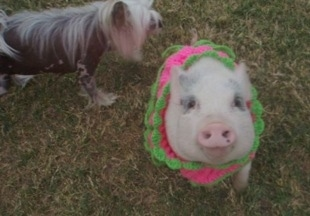 Front view - A pink pot bellied pig is sitting in a knit pink with green sweater and next to her is a Chinese Crested dog.