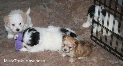 Preemie puppy and his littermates at 7 weeks old.