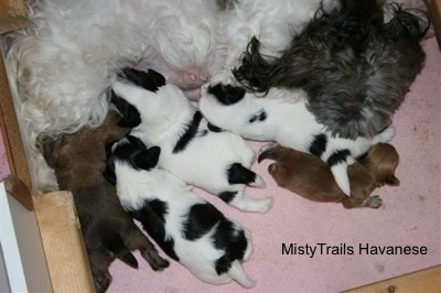 Preemie puppy 2 1/2 weeks old with his mother and littermates. Whelping