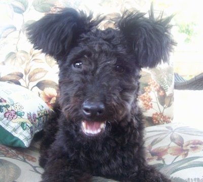 Pumi, Erzsi, shown here at 8 months old