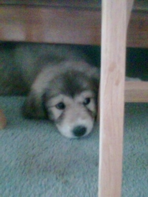 Abby the Pyrador (Great Pyrenees x Labrador Retriever) as a 6 week old puppy.