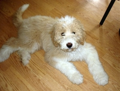 Side view - A wavy-coated, tan with white Pyredoodle puppy laying on a hardwood floor looking up.
