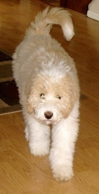 Front view - A tan with white Pyredoodle puppy is walking down a hardwood floor and its head is level with its body. Its tail is curled up.