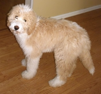 Side view - a wavy-coated, tan with white Pyredoodle puppy looking up towards the camera.