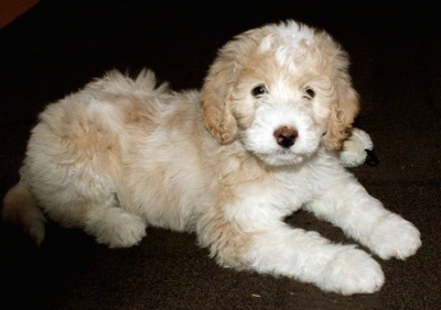 Side view - A soft-looking, tan with white Pyredoodle puppy laying on a dark carpet looking at the camera.
