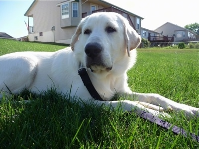 Pyrador dog breed information and pictures for Dog house for labrador retriever