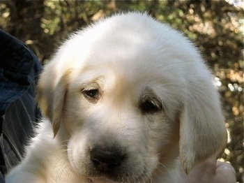 Kona the Great Pyrenees / Labrador Retriever hybrid puppy at 10 weeks old.