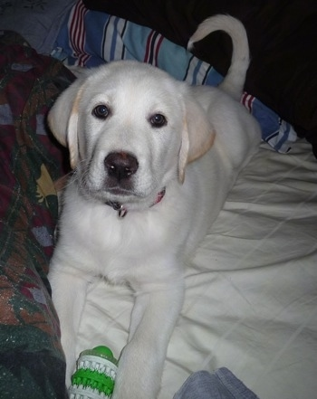 Front view - A white with tan Pyrador puppy laying on top of a pillow on a person's bed with a green and white toy in its front paws.