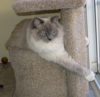 Sully the Ragdoll cat is laying on a catpost and its left paw is fully extended across the post