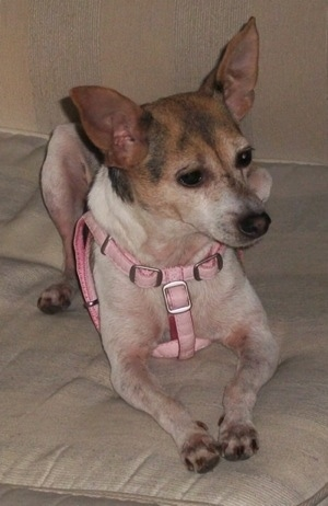 A perk eared white with tan and black Rat-Cha is wearing a pink harness laying on a pillow and it is looking to the right.