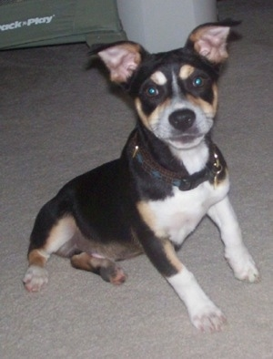 A black with tan and white Rat Terrier is sitting across a carpet and it is looking forward. It has short legs, a wide chest and ears that stand up but fold over at the tips.