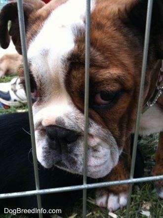 Close Up - The face of a brown with white Bulldog puppy that is standing on grass behind cage