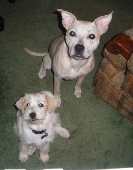 Pit Bull mix ) adopted from Golub Animal Clinic. They recently became