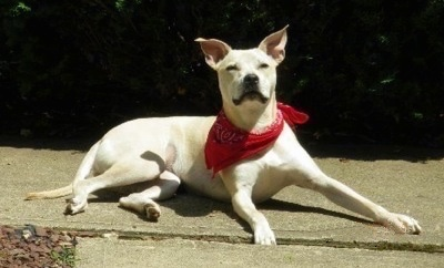 Side view - A perk-eared, white Pit Bull mix is laying on a walkway wearing a red bandana looking up. The dog has slanty eyes.