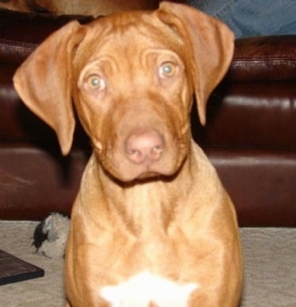 Close up - A liver-nose Rhodesian Ridgeback is sitting on a carpet and it is looking forward. Its head is slightly tilted to the left. There is a white patch on the dogs chest and it has wrinkles on its head.