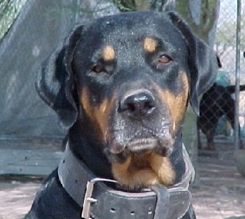 Close up head shot - A black and tan Roman Rottweiler is sitting in dirt and it is looking forward. Its head is slightly tilted to the left. It is wearing a thick black leather collar.