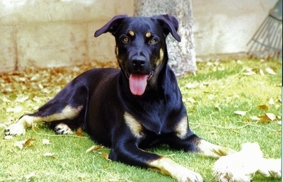 Front view - A shiny black with brown Rotterman is laying in grass and it is looking forward. Its mouth is open and its tongue is out. There is a rope toy in its front paw. Its head is black with two tan dots on the eye brow area.