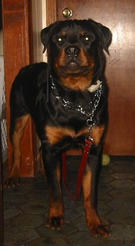 Front view - A large black with brown Rottweiler is standing on a floor and it is looking forward. There is a tennis ball against a door in the background. The dog is wearing a pinch collar that is attached to a red leash that no one is holding.