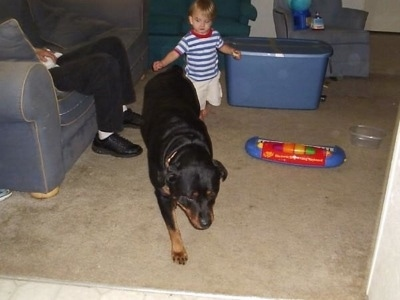 A black and tan Rottweiler dog is walking across a carpet, behind it is a toddler-sized child in a blue striped shirt. There is a person sitting on a couch to the left of the Rottweiler.