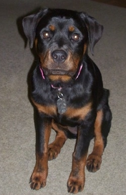 Rottweiler Dog Breed Pictures 3