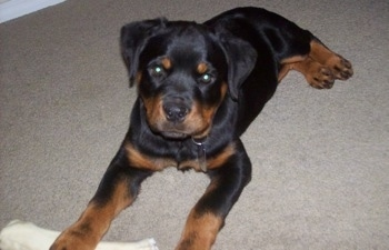 Front side view - A black with brown Rottweiler puppy is laying on a carpet and it is looking forward. Its front left paw is over top of a white rawhide dog bone.