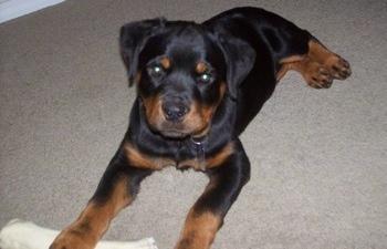 Rottweiler puppy 8 weeks old