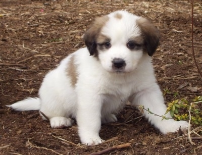 Front view - A fluffy, white with tan and black Saint Pyrenees puppy is sitting in dirt and it is looking forward.