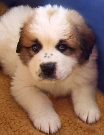 Close up front view - A white with tan and black Saint Pyrenees puppy is laying on a carpet and it is looking forward.