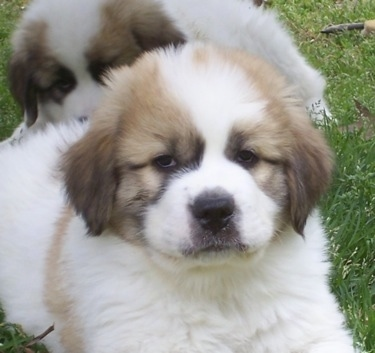 Close up - A fluffy, thick-coated, white with tan and black Saint Pyrenees puppy is laying on grass and behind it there is another white with tan and black Saint Pyrenees puppy that is laying on its back.